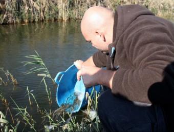Un tècnic allibera els exemplars d'anguila a l'aigua, a l'illa de Buda. ACN