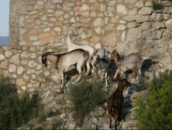 Imatge de les cabres i el boc pasturant a tocar del castell de Subirats EL PUNT AVUI
