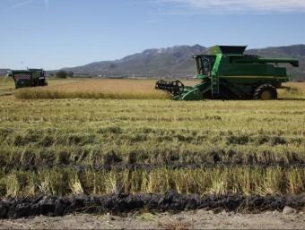 Un camp d'arròs del delta de l'Ebre, on es produeixen unes 120.000 tones d'arròs ARXIU