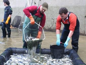 Els tècnics recuperen peixos als canals del delta de l'Ebre. EL PUNT AVUI
