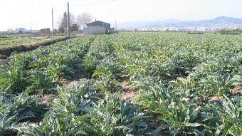 Cultius de carxofes com aquestes de Sant Boi van ser introduïts a Califòrnia pel osonenc Eusebi Molera el 1906.  ARXIU