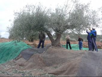 Una colla de llauradors en la campanya de recollida de les olives. ROSELLA C. SANZ