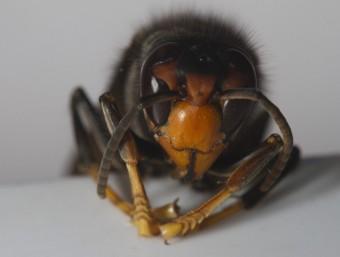 L'exemplar trobat a l'Alt Empordà de vespa asiàtica, una espècie invasora molt agressiva. ACN