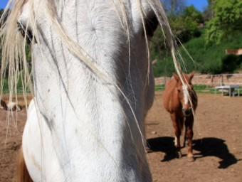 Dos dels cavalls que han acollit al refugi de la Fonollosa que té l'Associació en Defensa dels Èquids ACN