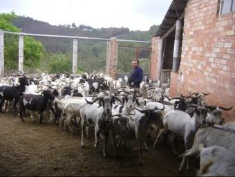 Miquel Borràs, un dels tres pastors de cabra blanca de Rasquera, manté el ramat al corral perquè s'ha quedat sense zona de pastura. L.M