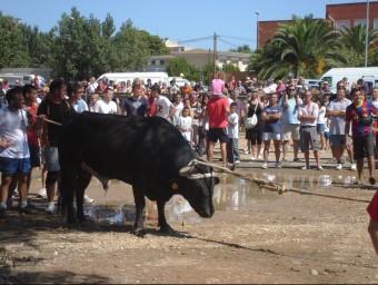 Un bou capllaçat a les festes majors d'Amposta. ARXIU