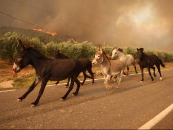 Cavalls i burros d'una granja de Biure fugint esperitats de l'incendi LLUÍS SERRAT