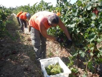 Uns treballadors del Celler Espelt, ahir al matí, recollint el raïm. I.BOSCH