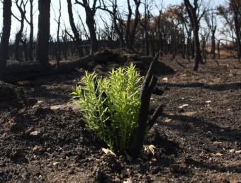Un brot verd creix enmig de les cendres de la zona cremada. LLUÍS SERRAT