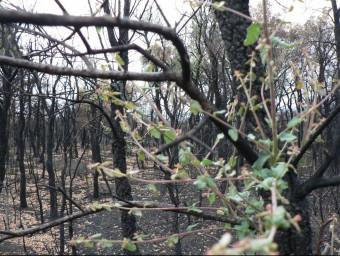 Un bosc de Darnius cremat on tot i la manca de pluges els suros joves tornen a rebrotar. PAU LANAO