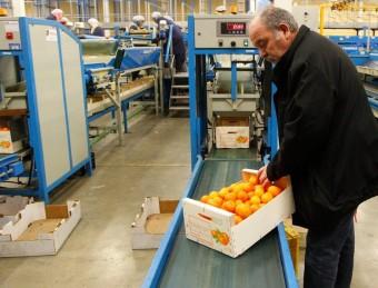 El gerent de Soldebre, Josep Estrada, revisa una caixa de mandarines.  JOSÉ CARLOS LÉON