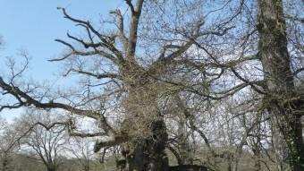 Roure mil·lenari del bosc de Brocéliande M.M.