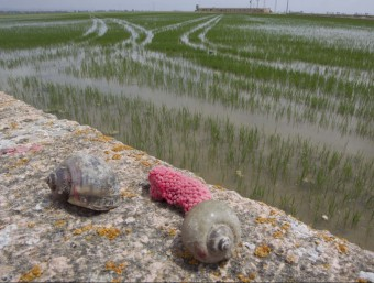 Dos exemplars de cargol poma i les postes de color rosat a la vora d'un arrossar a l'Aldea JOSÉ CARLOS LEÓN
