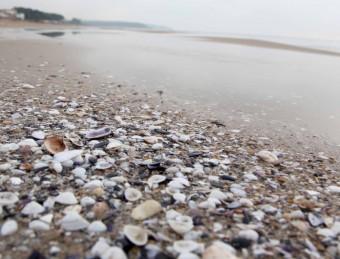 Una munió de petxines acumulada a la sorra de la platja llarga, en una imatge d'aquesta setmana JUDIT FERNÀNDEZ