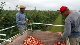 Campanya de la recollida de la poma a l'Empordà. EL PUNT AVUI