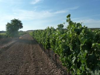 En finques com aquesta, el celler Cercavins produeix raïm a uns 500 metres d'altitud. Els vins de la subzona Valls del Riu Corb són frescos i equilibrats E.P