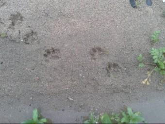 Les petjades que van descobrir en una zona sorrenca a la llera del riu Tordera EL 9 NOU