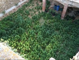 Vuit-centes cinquanta plantes de marihuana van ser intervingudes en un pati CME
