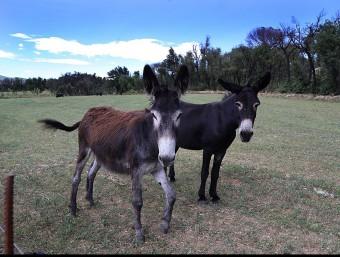 Una zona oberta de pastures amb uns burros a la zona de Darnius MANEL LLADÓ