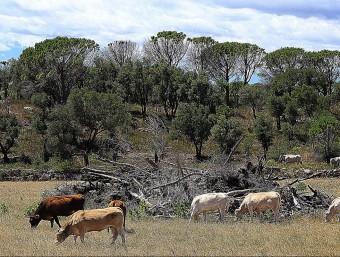 Vaques pasturant en un camps de Capmany , on s'acumula fusta, a la zona cremada en el gran incendi del juliol passat. MANEL LLADÓ