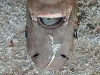 Imatge del tauró dormilega mort a la Cala Pola a Tossa de Mar ACN