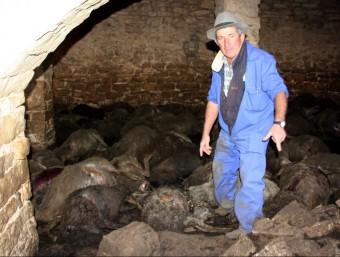 Els darrers atacs van tenir lloc en corrals de Seròs i hi van morir més de 150 ovelles, com mostra la imatge ACN