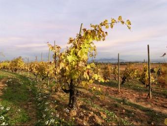 Recaredo treballa sota els criteris de l'agricultura biodinàmica.  GLOBAL IMAGE