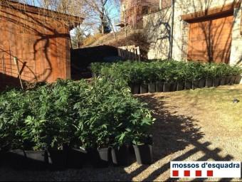 El cultiu va ser descobert en un domicili del carrer Torrent, on van ser intervingudes 426 plantes de marihuana CME