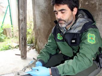 Un agent rural, ahir amb l'exemplar dels peixos morts, ahir al matí, en una central elèctrica a Bonmatí X. PI / ACN