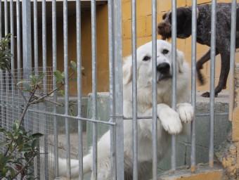 Gossos de la Protectora d'Animals d'Osona.  JORDI PUIG (EL 9 NOU)