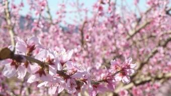Cirerers florits.  Amb l'al·legoria del cirerer nascuts entre els fems, l'autor sembla parlar d'altres tipus de flors.  E.P.