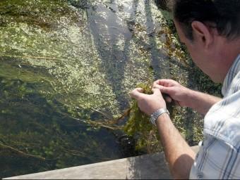Un tècnic compta les larves de mosca negra en els macròfits del riu. ARXIU/ JUDIT FERNÀNDEZ