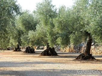 Les oliveres, un arbre clau en l'economia, surt 95 cops als carrers de poblacions catalanes.  ARXIU