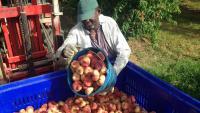 Un treballador temporer, treballant en la recollida de fruita, en una imatge d'arxiu