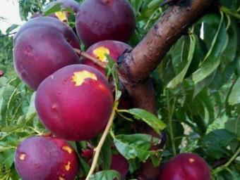 Fruita malmesa a Torres de Segre a causa de la forta tempesta de dissabte a la nit ACN