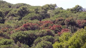 Les clapes de color marró s'escampen als boscos de la serralada litoral però amb més intensitat al Baix Maresme, on els arbres han patit més la sequera juanma ramos