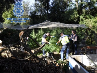 Uns policies en plena feia de segar les plantes de marihuana a Sant Esteve de Llémena. EL PUNT AVUI