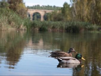 La fauna ha tornat a la resclosa del Catllar, l'únic punt del curs baix del Gaià que té aigua tot l'any gràcies a les aportacions dels regants JUDIT FERNÀNDEZ
