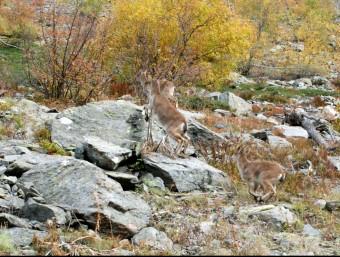 Tres exemplars de la cabra pirinenca que han alliberat aquesta setmana a la Val d'Aran CONSELH GENERAU D'ARAN