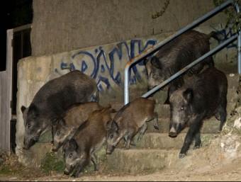 Una manada de senglars en una àrea urbana, en una imatge d'arxiu. ROBERT RAMOS
