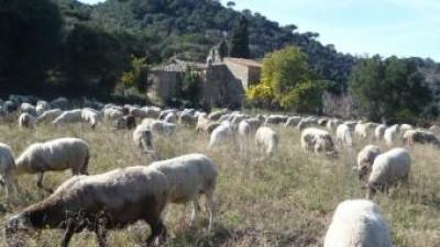 Un dels ramats que pasturen per reduir el risc d'incendi forestal a l'ermita de Sant Bartomeu de Cabanyes, dins el Parc Serralada Litoral. LL. ARCAL