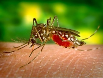 El mosquit del gènere 'Aedes' transmet el virus Zika.  ARXIU