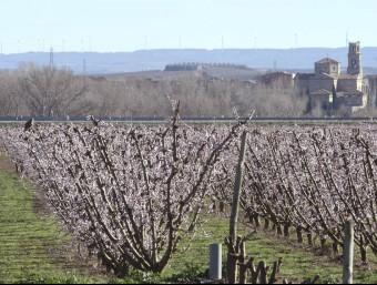 Fruiters florits ahir a la zona afectada per la gelada a la vall del Segre SANTI IGLESIAS