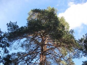 Un pinus sylvestris del Tossal Rodó és un dels exemplars que s'han localitzat i poden formar part de l'inventari EPN