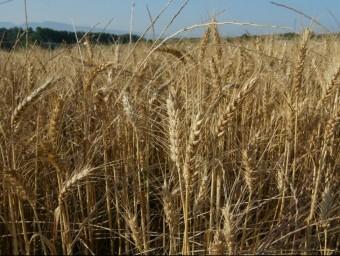 Imatge d'un camp de blat a Osona. ARXIU