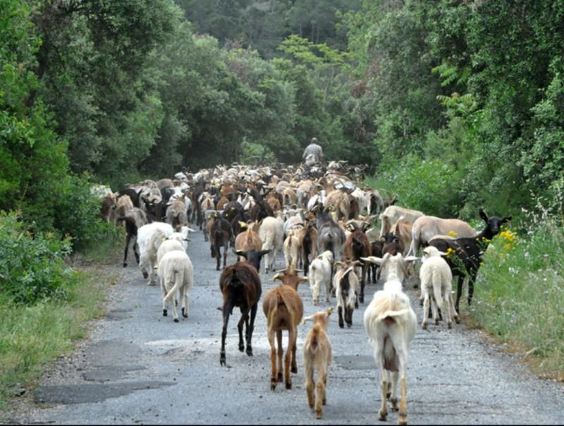Un pastor de Vimbodí va fer el recorregut menant un ramat de 429 cabres en la inauguració del camí de carrerada EPN