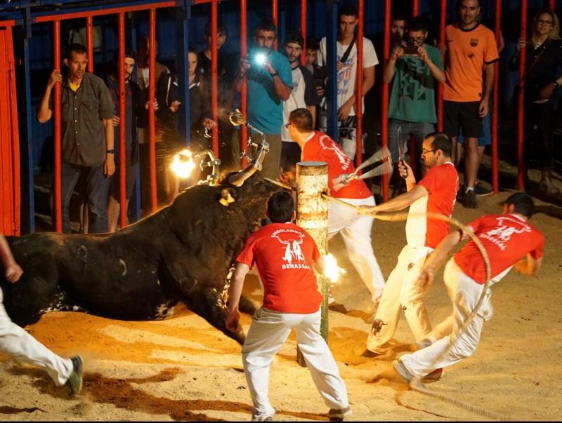 Un dels bous embolats del concurs de Sant Jaume d'Enveja el passat 25 de juny. ACN