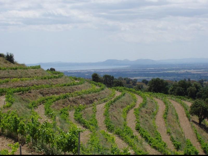 Les vinyes del Celler Mas Polit. EPA