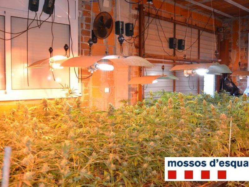 En un domicili de Lloret van trobar unes 800 plantes CME