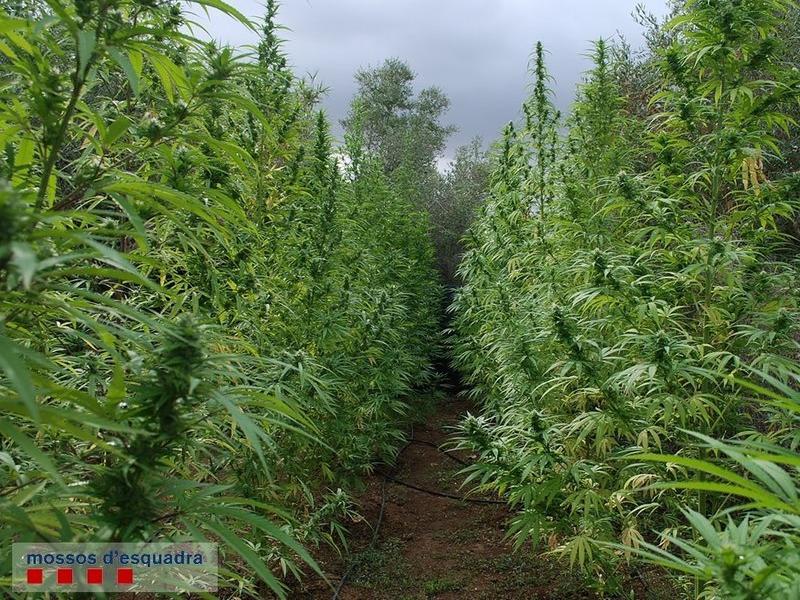 Una plantació de marihuana al Baix Camp EUROPA PRESS